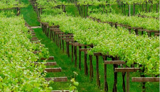 Visita viñedos en Rías Baixas